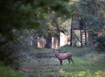 Veados vermelhos que rujem na floresta Fotografia de Stock