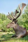 Veados vermelhos selvagens que encontram-se na grama verde Imagens de Stock Royalty Free