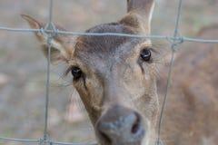 Veados vermelhos traseiros, atrás de uma cerca ligada corrente Fotografia de Stock Royalty Free