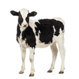 Calf, 8 months old, looking at the camera Royalty Free Stock Image