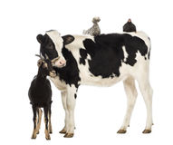 Calf, 8 months old, standing with a Polish chicken Royalty Free Stock Images