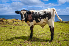 Veal on easter island cliffs Stock Photos