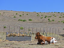 Veal in the field. Beef farm lying in the field beside he feeder fund and hills and blue sky Royalty Free Stock Photos