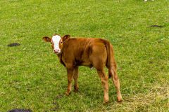 Veal on pasture. Immature creatures always have a cute and innocent look Royalty Free Stock Image
