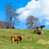 Veals and cows eating first spring grass on Romanian hills. Veals eating spring grass on Romanian hills Stock Images