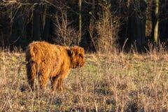Veau écossais de montagnard se tenant dans le pré photo libre de droits