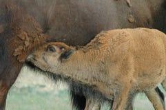 Veau alimentant de bison Images stock