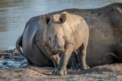 Veau blanc de rhinocéros de bébé se tenant le premier rôle à la caméra image stock