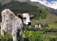 Veau curieux dans Caucase Photo stock