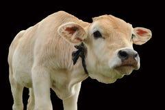 Veau curieux de vache Images stock