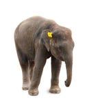 Veau d'éléphant Photographie stock libre de droits