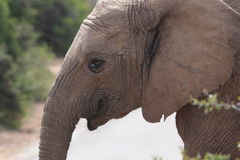 Veau d'éléphant photos libres de droits