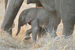Veau d'éléphant africain (Loxodonta Africana) avec sa mère. Images libres de droits