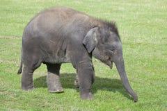 Veau d'éléphant asiatique Photos libres de droits