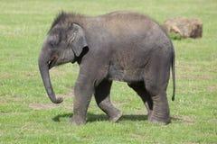 Veau d'éléphant asiatique Photo libre de droits