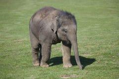 Veau d'éléphant asiatique Image stock