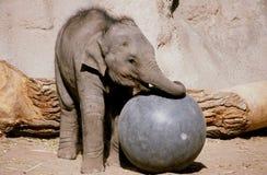 Veau d'éléphant au jeu - bio zoo de parc, Albuquerque Photographie stock libre de droits
