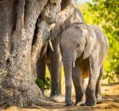 Veau d'éléphant avec le troupeau d'éléphant images libres de droits