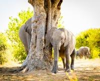 Veau d'éléphant avec le troupeau d'éléphant photo stock