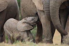 Veau d'éléphant d'Afrfican de chéri Photo stock