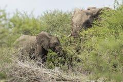 Veau d'éléphant en Afrique du Sud image stock