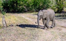 Veau d'éléphant et son ombre Photographie stock
