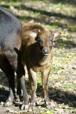 Veau d'anoa de terre en contre-bas (depressicornis de Bubalus) Images stock