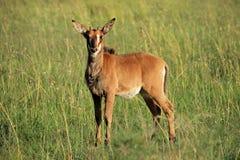 Veau d'antilope de sable photographie stock libre de droits