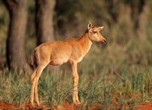 Veau d'antilope de Tsessebe Photos stock
