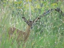Veau d'impala dans l'herbe Images stock