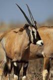 Veau d'oryx de Gemsbok, désert de Kalahari Image libre de droits