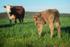 Veau dans le paysage rural photo libre de droits