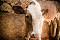 Veau dans une grange Photo libre de droits