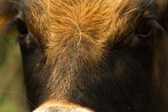 Veau dans Wildpark Image libre de droits