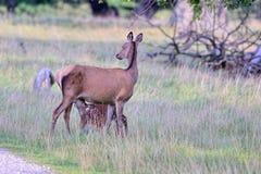 Veau de alimentation de mère de cerfs communs rouges. Image stock