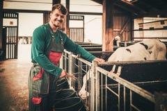 Veau de alimentation de jeune exploitant agricole dans l'étable dans l'exploitation laitière image stock