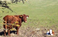 Veau de bébé avec la vache à mère dans le Northumberland, Angleterre LE R-U photos stock