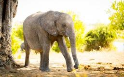 Veau de bébé d'éléphant dans sauvage photographie stock
