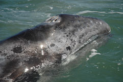 Veau de baleine grise, Californie Photographie stock libre de droits