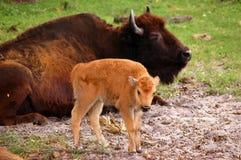 Veau de bison photo stock