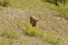 Veau de bison Photos stock