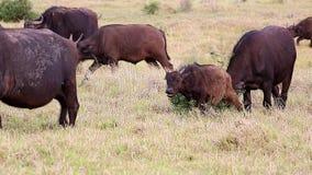 Veau de Buffal rayant sur un petit arbuste banque de vidéos