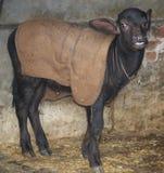Veau de Buffalo d'eau - vache/buffle à bébé Image libre de droits