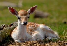 veau de cerfs communs Image libre de droits