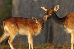 Veau de cerfs communs affrichés avec de derrière Image libre de droits