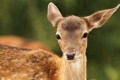 Veau de cerfs communs affrichés regardant l'appareil-photo Image libre de droits