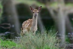 Veau de cerfs communs rouges à l'étang Photos libres de droits