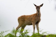 Veau de cerfs communs rouges dans la fougère Images libres de droits