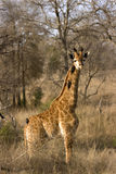 Veau de giraffe Images libres de droits