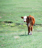 Veau de Hereford Photographie stock libre de droits